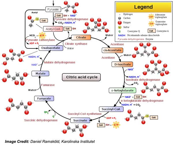 cycle of citric acid cycle important to metabolism