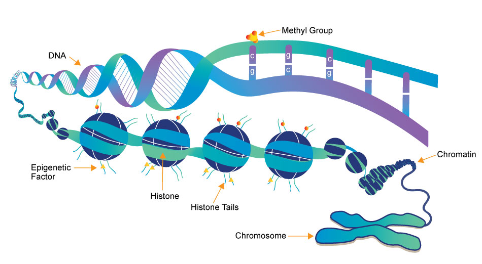 structure of chromatin, histones, DNA