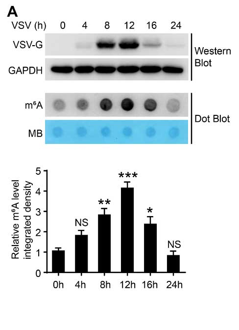 m6A abundance in VSV infected cells