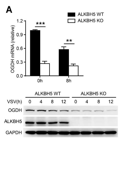 OGDH in ALKBH5 KO macrophages