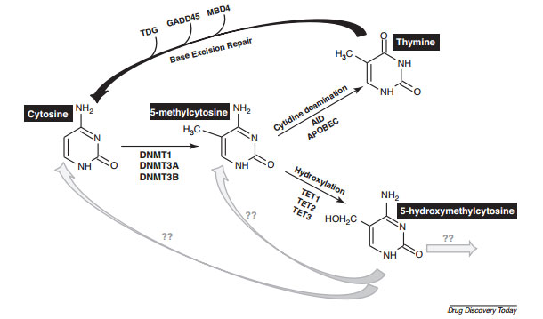 DNMT and DNA Demethylase Cycle