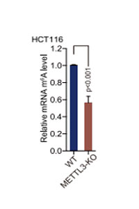 Levels of m6A  in mRNA of HCT116 WT  and METTL3- knockout cells
