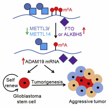 Self-renewal of glioblastoma stem cells and m6A RNA methylation