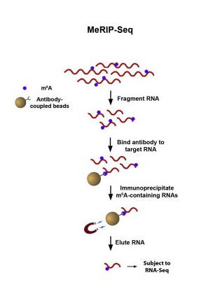 meRIP Sequencing protocol
