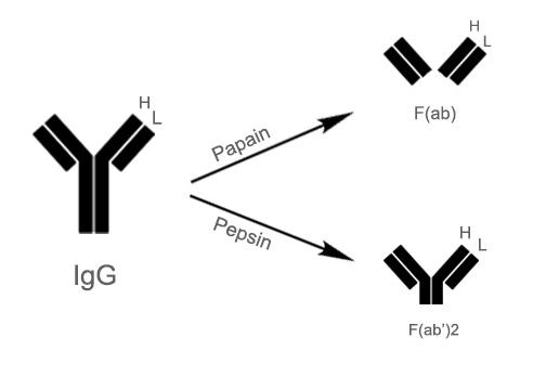 fragmented secondary antibody