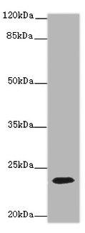 CD3E Polyclonal Antibody