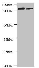 HIF1A Polyclonal Antibody