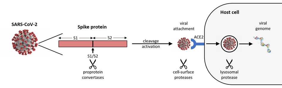 A diagram illustrating how a proprotein convertase reaction with the SARS-CoV-2 spike protein causes cleavage which leads to heightened attachment ability of the virus to the surface of host cells.