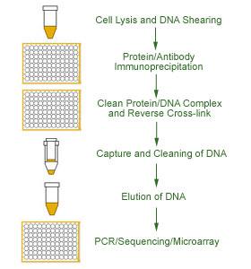 组织染色质免疫沉淀(chip)试剂盒