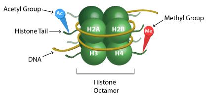 Histone Modification | EpiGentek